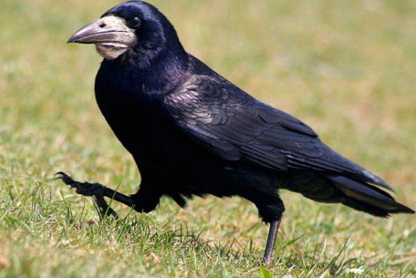 vorona-lat-corvus-corax